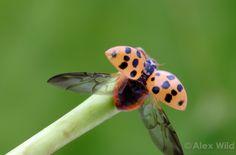 Harmonia axyridis. Multi-colorido besouro asiático fêmea, levantando vôo. Illinois, USA.  filename: Harmonia4