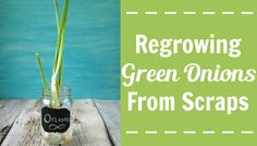 Never buy green onions again! Create an endless supply of green onions by learning how to regrow green onions from scraps. Buy once, enjoy indefinitely.