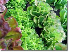 Great tips on growing lettuce