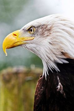 Eagle Bird, Eagle Wings, Eagle Pictures, Birds Of Prey, Beautiful Birds, Bald Eagles, Patterns, American, Nature