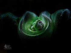 Olympus photographer Radim Hlavac used the M.Zuiko R lens to capture the eerily vibrant colors of this green tree python. The versatile lens capabilities are perfect for close-up portraits, learn more here: Close Up Portraits, Green Trees, Olympus, Python, Ps, Vibrant Colors, Therapy, Animal, Photography