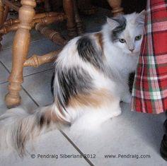 Image of smoke calico Siberian Cat.