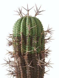 Euphorbia stellaespina