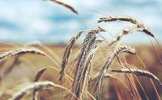 Обои на рабочий стол Макро:Макро, Колоски, Пшеница, Жито, Рожь, Поле - скачать бесплатно. | Обои-на-стол.com