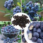 30PCS Bonsai Blueberry Seeds Garden Fruit Plant – BestSeller Products Reviewers