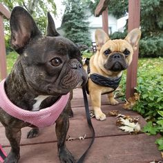 Brother and Sister French Bulldog Love ❤️