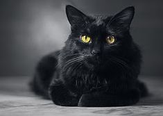 Russian Black Cat wallpaper by FaiziCreation Wallpaper Stickers, Cat Wallpaper, Cool Cats, Animal Pictures, Cute Pictures, Walpaper Black, Health Insurance Companies, Inappropriate Jokes, Animal Rescue Shelters
