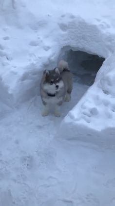 Little husky checking out his new snow cave 😍😊😄 – Emilie Justus - Baby Animals Baby Animals Pictures, Funny Animal Pictures, Animals And Pets, Funny Animal Memes, Funny Animal Videos, Funny Dogs, Cute Little Animals, Cute Funny Animals, Baby Huskys