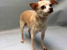**SENIOR** Super Urgent 10 YRS OLD** - MARKO - #A1101492 - MALE TAN CHIHUAHUA SH MIX, 10 Yrs - STRAY - CAME I N WITH VINNY #A1101495