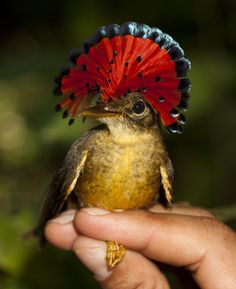 The Royal Flycatcher. Native to Central South America, this little bird has a crazy head plume!! Oddly enough, this beautiful ( slightly silly looking) fan is rarely displayed like this. It's usually flat against the top of the head.