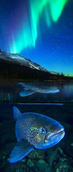 Arctic trout in northern light -- Meerforelle unter Polarlicht -- photo by Audun Rikardsen on www.gdtfoto.de -- GDT - EUROPÄISCHER NATURFOTOGRAF DES JAHRES 2016