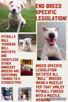 please spread this poster I made! BSL stands for breed specific legislation but I think BSL stands for bullshit legislation! Please pin and spread this on all social media! If you post it on Instagram tag @iddypsdintraining please everyone lets save them!