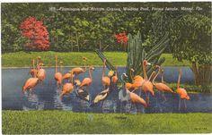 Vintage Florida Postcard  Miami  Flamingos and by savannahsmiles4u