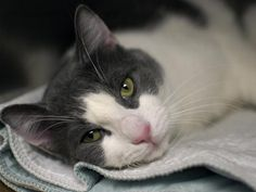 MASH BOWL - A1040484 - - Brooklyn  *** TO BE DESTROYED 06/30/15 *** A MASH BOWL SERVES UP YUMMY FOOD AND OUR MASH BOWL SERVES UP A LOVELY KITTY…..MASH BOWL is a young man of a year and a half and found as a stray in Brooklyn…He has a lovely demeanor and a great AVERAGE rating. MASH BOWL WOULD MAKE A FINE ADDITION TO ANY HOME…..PLEASE LET THAT BE HIS FATE TONIGHT AND NOT THE ONE THAT THE ACC HAS LINED UP FOR HIM TOMORROW!! SAVE MASH BOWL NOW!! -  Click fo