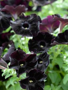 The Black Velvet Petunia is one of our favorite annual varieties. I think I would love to see this surrounding the green rudbeckias with black centers. Very dramatic look.
