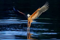 Foto gavião-belo (Busarellus nigricollis) por Cassiano Zaparoli (ZAPA) | Wiki Aves - A Enciclopédia das Aves do Brasil