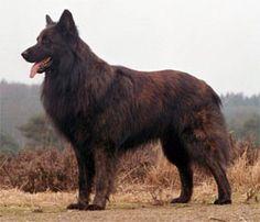 Hollandse herdershond, langhaar Dutch sheperd, longhair