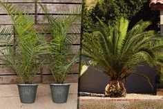 £26.99 instead of £49.98 (from You Garden) for two Canary Island palm trees and two decorative planters - save 46%