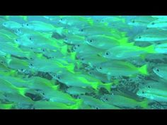 Up close and personal with a dense school of yellow snappers at the reef called Creche in Ponta do Ouro, which we visited on our recent dive trip to southern. Diving, Southern, Yellow, Animals, Animaux, Animales, Scuba Diving, Snorkeling, Animal