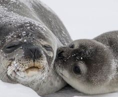 Photo Of Baby Seal Pup Kissing Mom Goes Viral And Melts Our Hearts