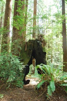 Cool stump in the Fortuna Hiking Trails in Humboldt County, CA.  Photo courtesy Best Western Country Inn Fortuna.  http://bwcountryinnfortuna.com/