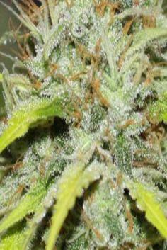 Choosing the right marijuana strain