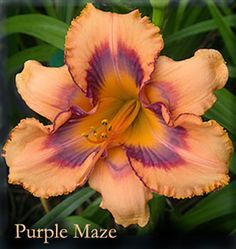 PURPLE MAZE - (Morss 2003) 36 inch, EE, 5.5 inch, Ev [Dor in our garden] , Tet, Medium carrot orange with triple webbed complex eye of blue purple and blue lavender outlined red violet above yellow to green throat. We have sufficient stock to continue sales. Parentage: (COUNTED SHADOWS X Sdlg).