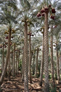 Palm grove, Cairo, Egypt | Santiago Urquijo on Flickr