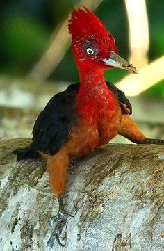 Roodnekspecht - Red-necked Woodpecker (Campephilus rubricollis)