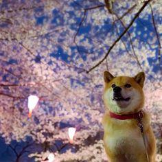夜桜キレイだなー 桜もわんこもイイな