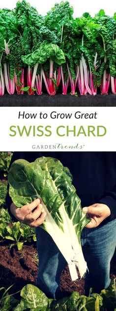 Swiss chard is quite delicious and much more heat tolerant than spinach, which requires cooler weather for survival. Harvest outer leaves one inch from the base when they are 8 to 10 inches high. Sow seed May through July for summer and fall harvests. Click here to learn how to grow great swiss chard! #gardentrends #growyourown #swisschard