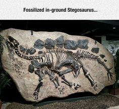 """A Stegosaurus sits on display at the Wyoming Natural Geological Museum in Laramie, Wyo., approximately 8 x 15 ft. Stegosaurus, meaning """"roof lizard"""" or """"covered lizard"""" in reference to its bony plates. They lived during the Late Jurassic period some 155 to 150 million years ago in western North America. Due to its distinctive tail spikes and plates, Stegosaurus is one of the most recognizable dinosaurs."""
