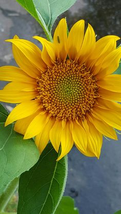 How to Plant Potted Flowers Outdoors in the Soil : Garden Space – Top Soop Beautiful Flowers Garden, Happy Flowers, All Flowers, Pretty Flowers, Yellow Flowers, Sunflower Garden, Sunflower Art, Sunflower Fields, Sunflowers And Daisies