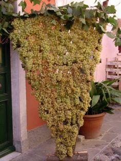 festa dell'uva in paese