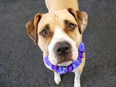 SAFE 5/30/2015 --- Manhattan Center ALANA – A1037044 FEMALE, TAN / WHITE, AMERICAN STAFF MIX, 2 yrs OWNER SUR – EVALUATE, NO HOLD Reason MOVE2PRIVA Intake condition UNSPECIFIE Intake Date 05/21/2015
