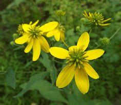 Ironweed Yellow