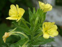 Evening Primrose - Oenothera Biennis. The leaves are cooked and eaten as greens and the roots are said to be sweet succulent and delicious when boiled like potatoes. Flowers are a sweet addition to salads. Seeds contain gamma-linoleinc acid (GLA), an essential fatty acid that is known to help prevent hardening of the arteries, heart disease, eczema, cirrhosis, rheumatoid arthritis, menopause, PMS, multiple sclerosis, and high blood pressure.