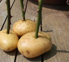 propagating roses with potatoes