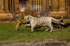 Tigers Playing by Juan C Tojo