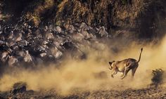 Hunt at Crossing Photo by Manoj Shah — National Geographic Your Shot