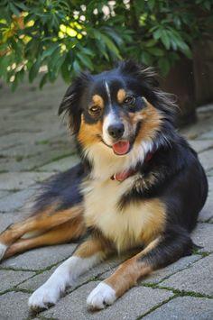 Cute Best Australian Shepherd Tri Black | Cute puppy and dog