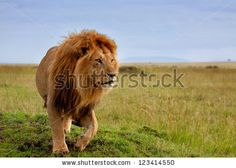 The most beautiful lion of the Masai Mara by Maggy Meyer, via Shutterstock