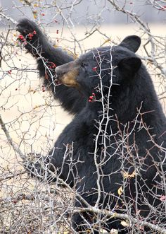Male Black Bear Eating Red Berries. Black Bears like sweet things, we have that in common ;)