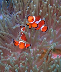 perfect picture of a symbiotic relationship! clown fish and the sea anemone Saltwater Aquarium Fish, Saltwater Tank, Underwater Creatures, Ocean Creatures, Beautiful Sea Creatures, Animals Beautiful, Colorful Fish, Tropical Fish, Marine Fish
