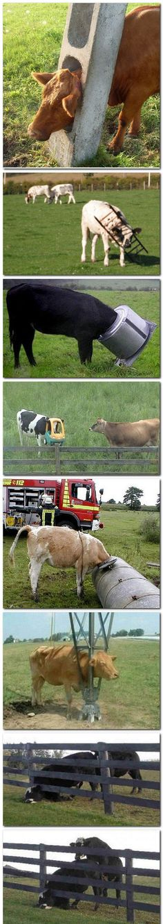 cows.... your head doesn't go there