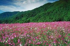 Mountain Wildflowers - North Carolina Mountains; gosoutheast.about.com; Google Image Result for http://0.tqn.com/d/gosoutheast/1/0/5/H/-/-/MountainWildflowers_vnc.jpg
