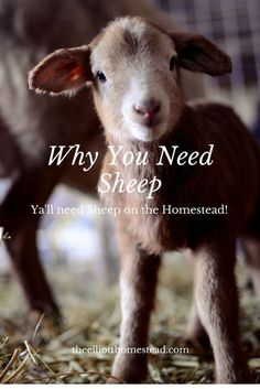 Why You Need Sheep on the Homestead www.theelliotthomestead.com