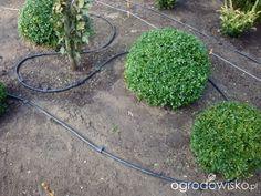 Ogród z lustrem - strona 40 - Forum ogrodnicze - Ogrodowisko