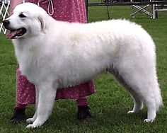 Kuvasz=Bold, courageous and fearless, the Kuvasz is an unparalleled livestock guard, able to act at just the right moment without instruction and cover rough terrain for long periods of time. One of the larger working breeds, he is well-muscled and agile.While he is devoted to and protective of his family, the Kuvasz may not be overly demonstrative with his affections. He is often especially polite and reserved when meeting strangers