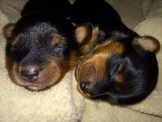 New baby yorkies. Nothing sweeter than puppy breath.